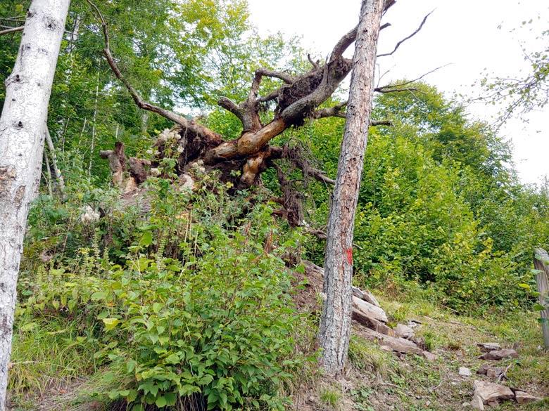 Sistemazione ceppaia lungo sentiero botanico Tita Poa a Pianizole -foto 004