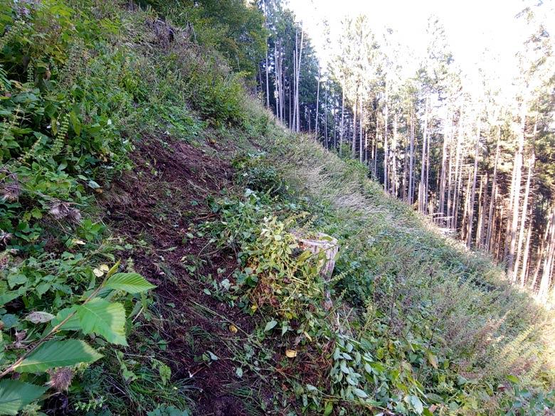 """Prima zappatura del Troi dele Ciaure nel tratto di radura sopra Loreto; il taglio delle piante negli scorsi anni ha comportato l'arrivo di vigorosa vegetazione erbacea che ha """"nascosto"""" la traccia originaria, ora ripristinata."""