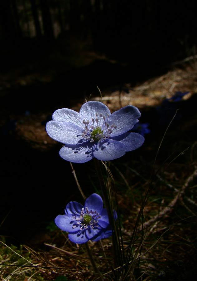 Anemone epatica