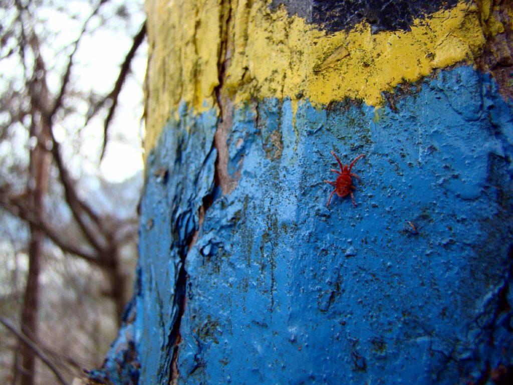 """Un acaro, detto anche """"ragno rosso"""", su corteccia di pino"""