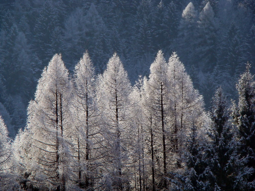 Larici con un velo di neve