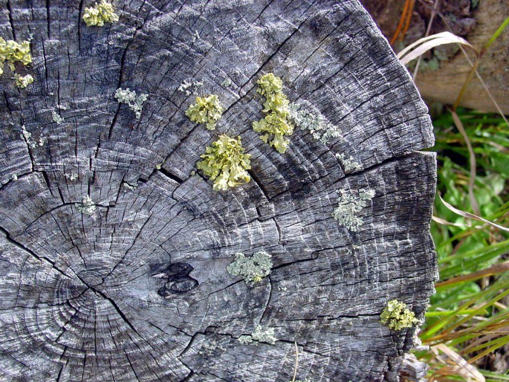 Licheni su tronco