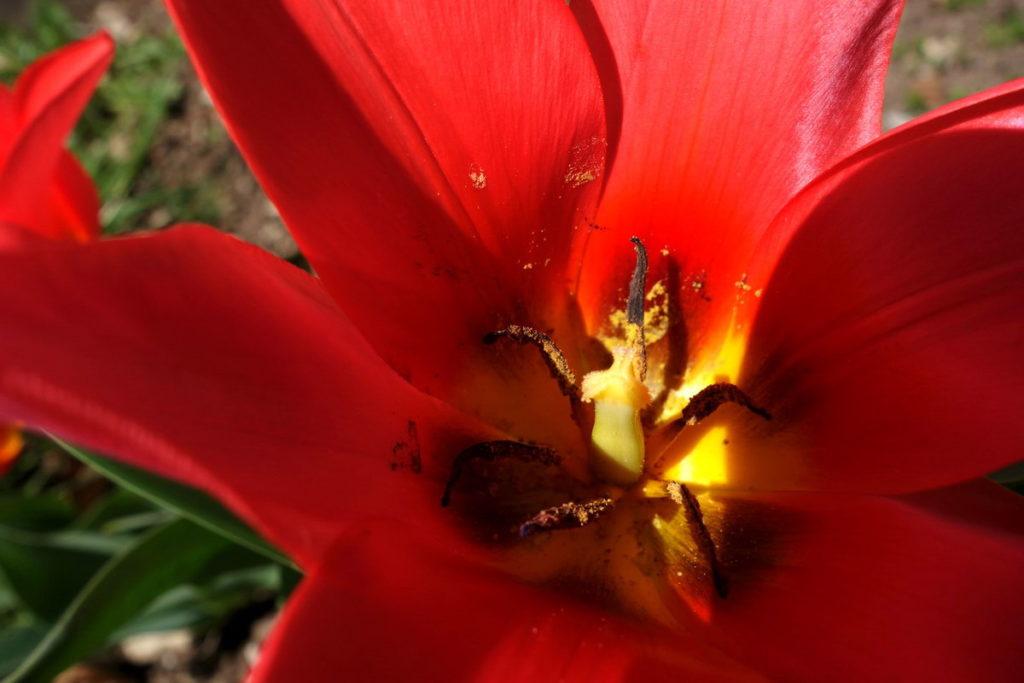 Tulipano (venghino signori, venghino…)