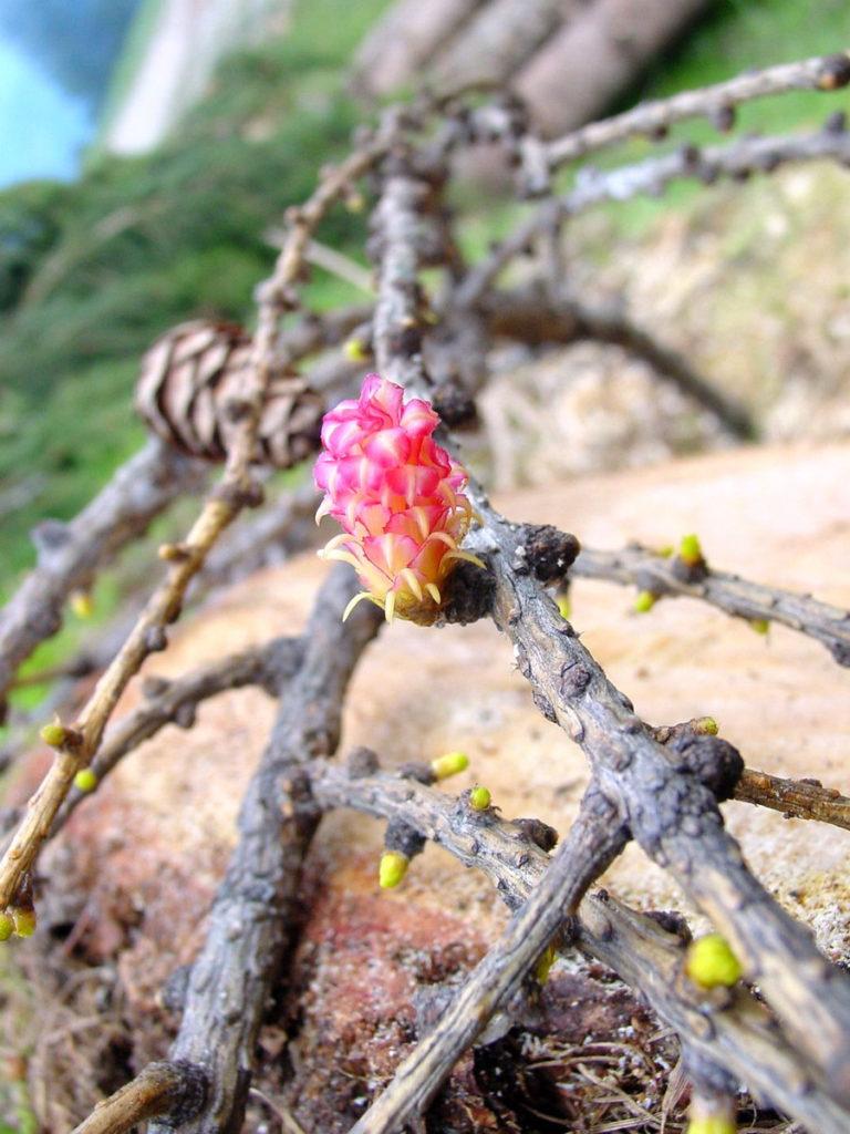 """""""Fiore"""" femminile del larice"""