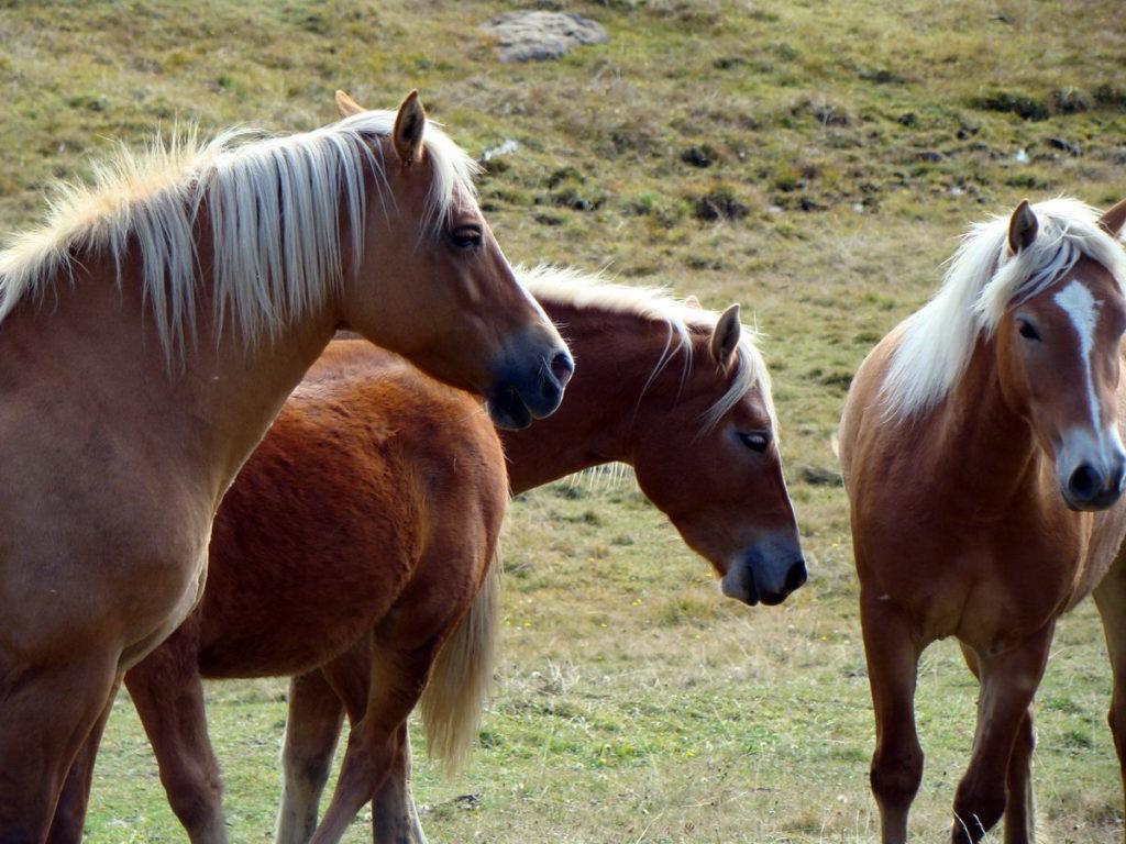 Cavalli al pascolo a Pian dei Buoi