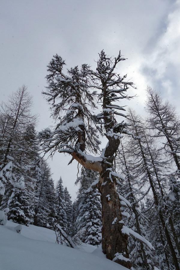 Candelabro arboreo