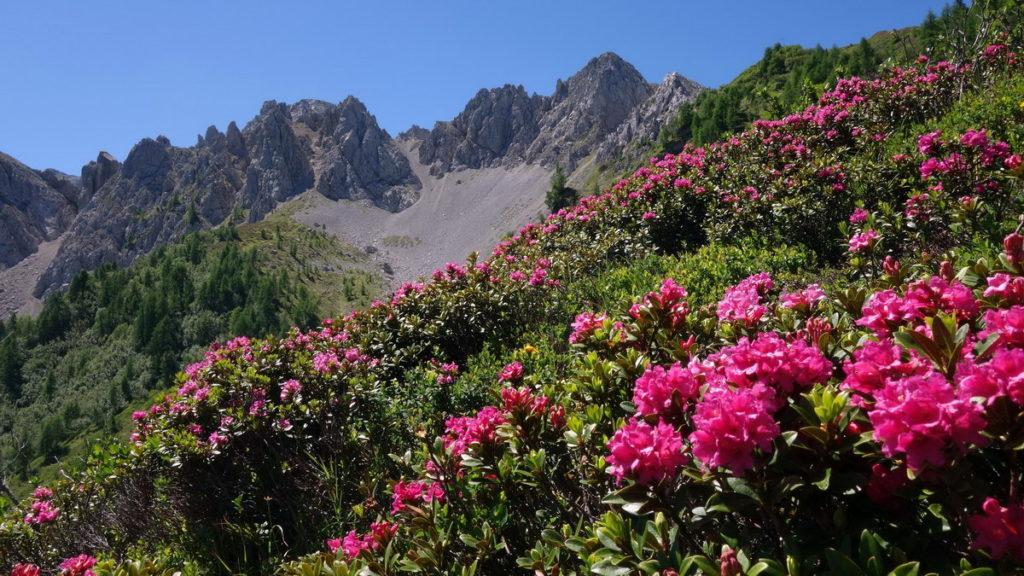 Tudaio di Razzo  e rododendri in salita verso il Col di Sòla